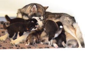 szczenięta alaskan malamute