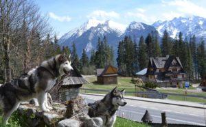alaskan malamute w górach