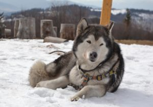 Hope - Alaskan Malamute