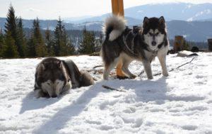 Alaskany w górach