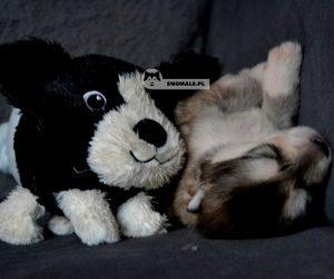 szczeniaki alaskan malamute
